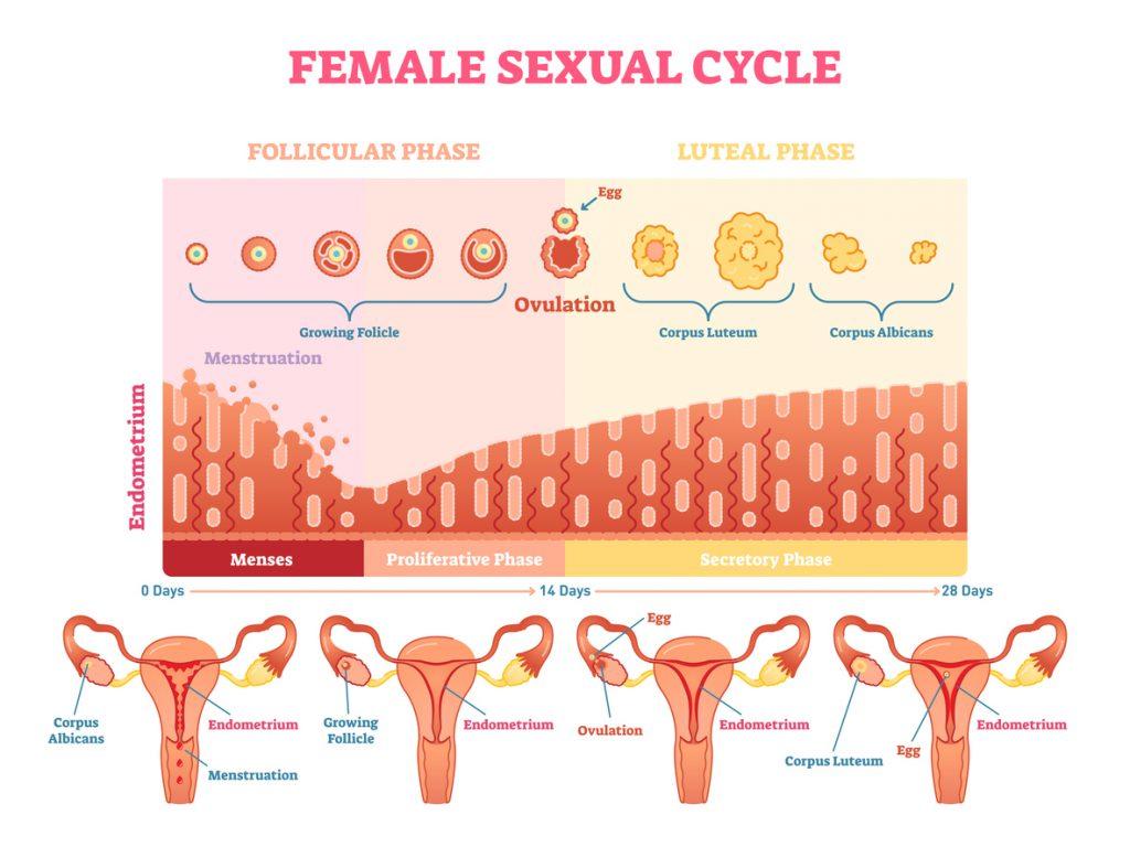 ciclo mestruale e fertilità